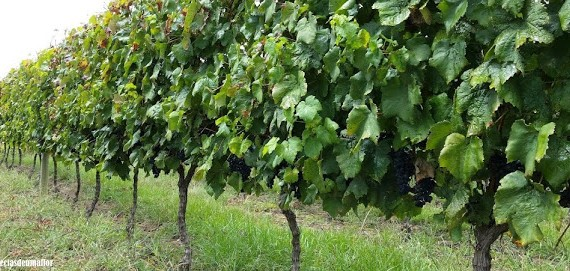 Rota das vinícolas da Campanha que permitem visitação com degustação (rota do Pampa Gaúcho)